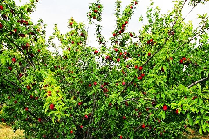 Chaubatia Orchard