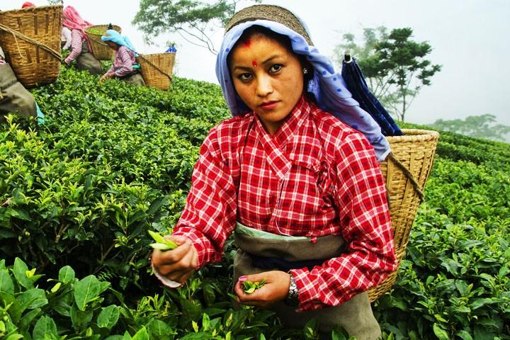 Tea Garden ,Darjeeling